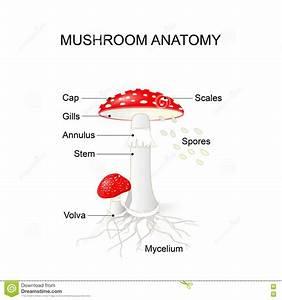 Parts Of A Mushroom Diagram