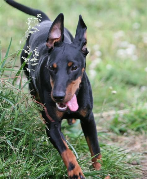toy manchester terrier breed guide learn   toy