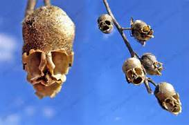 Snapdragon Seed Pod