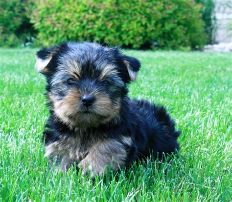 cheap teacup yorkie puppies  sale   united