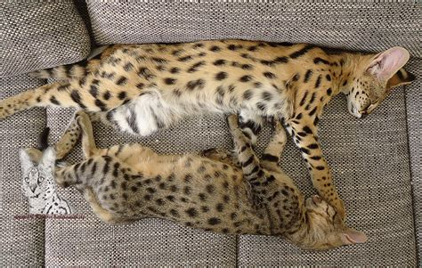 serval thor papa von  savannah katzen  jambo savannah
