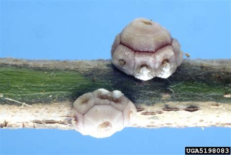 fig wax scale ceroplastes rusci hemiptera coccidae