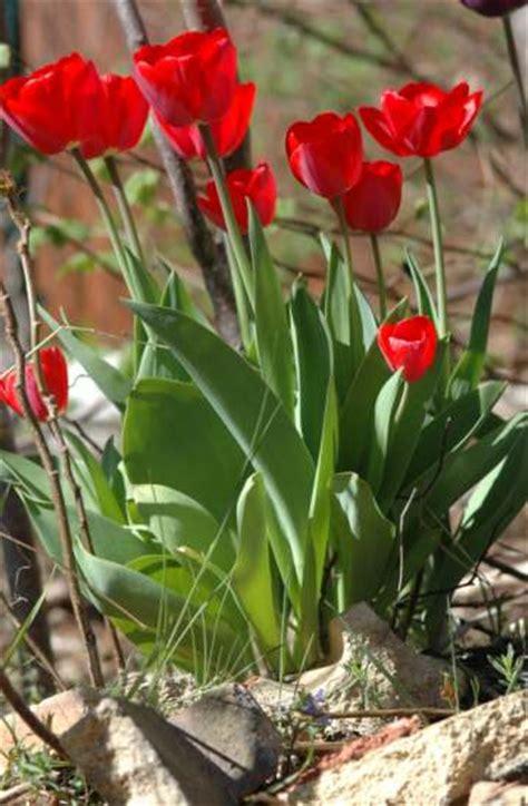 steckbrief tulpe