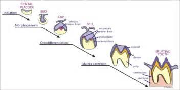 environmental disruption  dental development