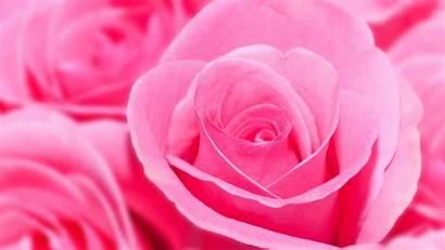 Pink Rose Wallpapers Background Desktop Laptop Flowers