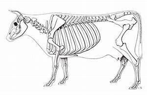 Cow Skeleton Em 2019
