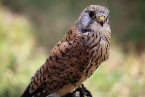 Painshill Park Birds Of Prey 2013