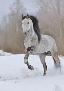 Dapple Grey Orlov Trotter Horse