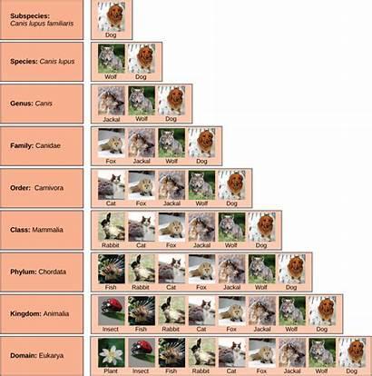 Classification Levels Taxonomic Biology Species Kingdom Order