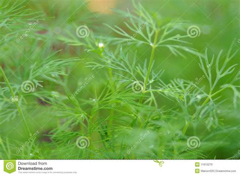 grow dill in pot fresh growing dill stock photo image 11615270
