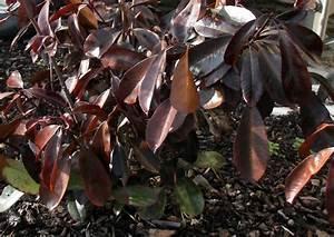 Hortensien Blätter Werden Braun Frost : besondere hecken photinia fraseri 39 red robin ~ Lizthompson.info Haus und Dekorationen