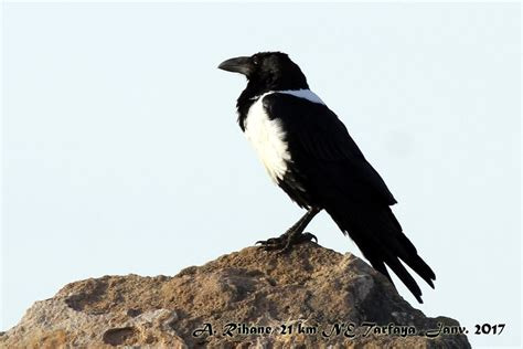 Pied Crow At Khnifiss Lagoon, Southern Morocco