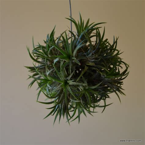 plants that grow in air is this plant hot or not hidden hills garden