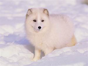 Arctic Fox Facts  History  Useful Information And Amazing