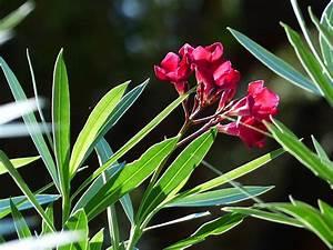 Oleander Düngen Mit Blaukorn : die h ufigsten krankheiten beim oleander nachgeharkt ~ Lizthompson.info Haus und Dekorationen