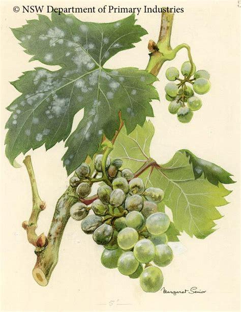 mildew powdery grape vines illustration oidium grapes grapevine nsw senior grapevines fruit dpi gov illustrations sp margaret scientific collections nemesis