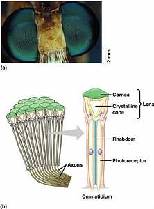 Structure Of Compound Eye