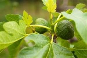 Feigenbaum Im Kübel : feigenbaum umpflanzen das sollten sie beachten ~ Lizthompson.info Haus und Dekorationen