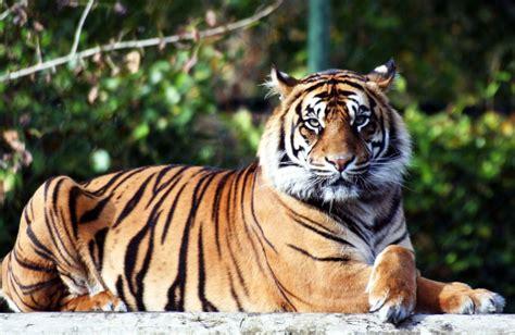 Disparu Depuis Plus D'un Siècle, Le Tigre Est De Retour Au