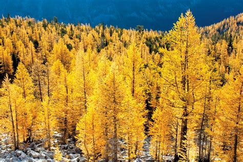 Fall hikes to golden larch groves