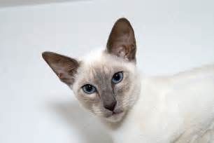siamese cats lilac point siamese cat