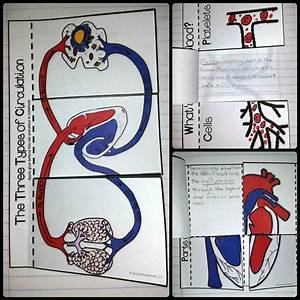 Colorful Interactive Notebook Activities For The Circulatory    Cardiovascular System