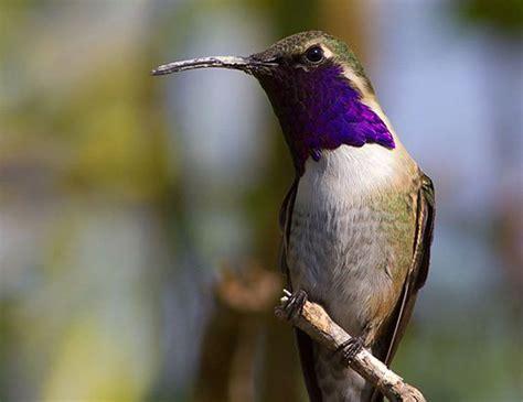 lucifer hummingbird life expectancy