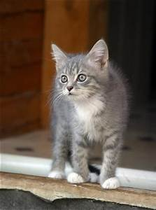 Top 25 ideas about Grey Tabby Kittens on Pinterest ...
