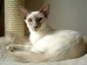 balinese cat balinese and javanese
