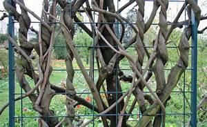 Rankgerüst Für Blauregen : chinesischen blauregen wisteria sinensis pflanzen ~ A.2002-acura-tl-radio.info Haus und Dekorationen