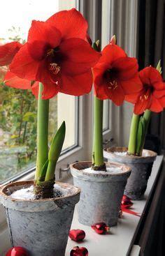 How To Bulbs Gorgeous Indoor Bloom And Color by Fireball Scadoxus Multiflorus Lirio De Bola De