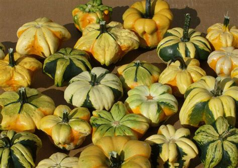 gourd seeds small daisy mix unique mix  small gourds organic  seeds ebay