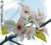 vernicia fordii aleurites fordii tung oil tree