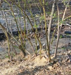 Tips for Growing Blueberry Bushes