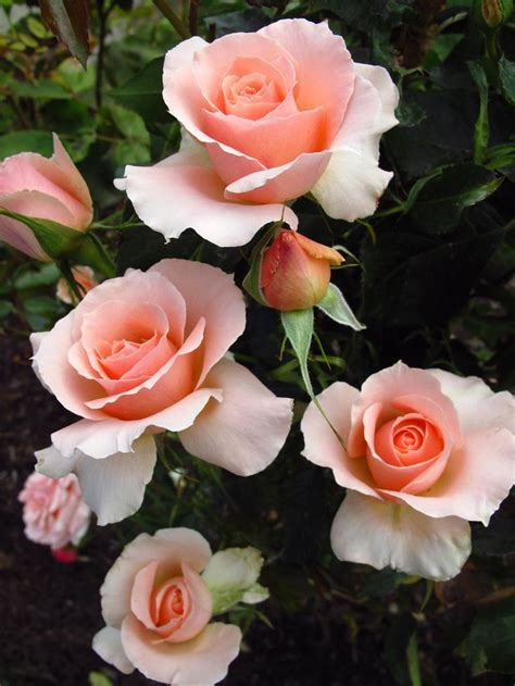 1418 Best Flowers Roses Images On Pinterest Beautiful