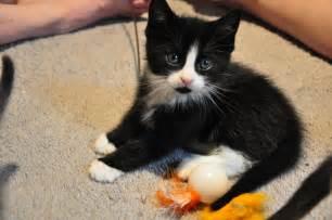 tuxedo kittens tails high inc
