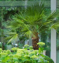 42 melhor ideia de Folhas - Palmeira Trachycarpus ...