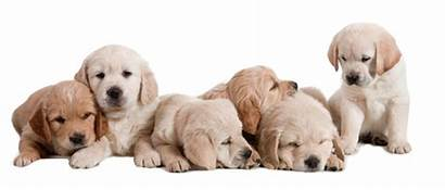 Puppy Puppies Training Dogs Topdog Dog Golden