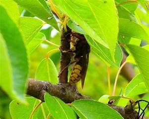 Wie überwintern Bienen : hummeln bienen wespen und hornissen gemeinsamkeiten und unterschiede ~ A.2002-acura-tl-radio.info Haus und Dekorationen