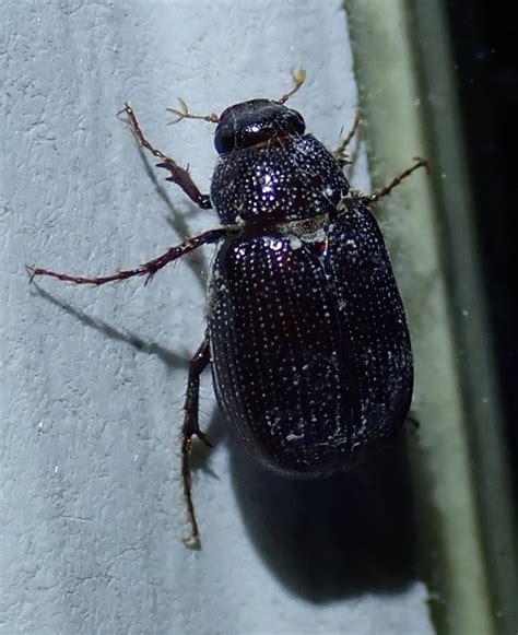 Rice Beetle - Florida Adventurer