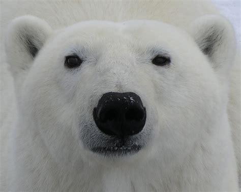 polar bear enthusiast announces award winning web site