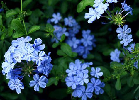blue plumbago photograph by barbara middleton
