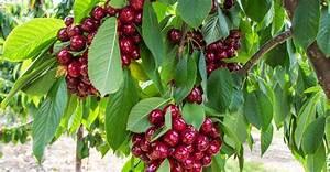 Planter Un Cerisier : planter dans un verger quel espacement dossier ~ Melissatoandfro.com Idées de Décoration