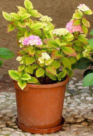 hortensia en pot
