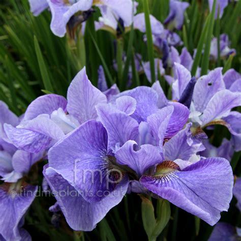 iris sibirica percheron information pictures