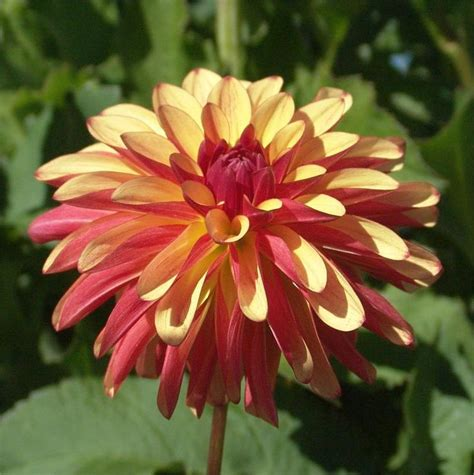 dahlia my garden 17 best images about my dahlias 2015 on
