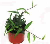 Winterharte Pflanzen Für Balkonkästen : winterharte h ngepflanzen f r balkonk sten k bel pflanzen versand harro 39 s pflanzenwelt kaufen ~ Orissabook.com Haus und Dekorationen