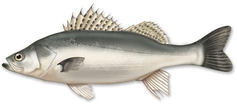 sea bass fish sea bass