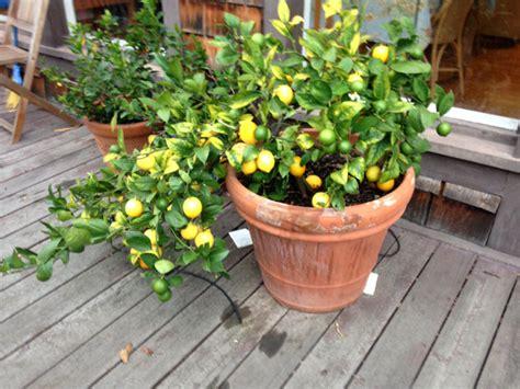 coltivare agrumi in vaso come coltivare agrumi in vaso cure