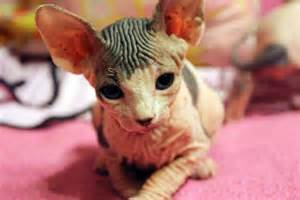 baby hairless cats baby hairless cats hairless cats